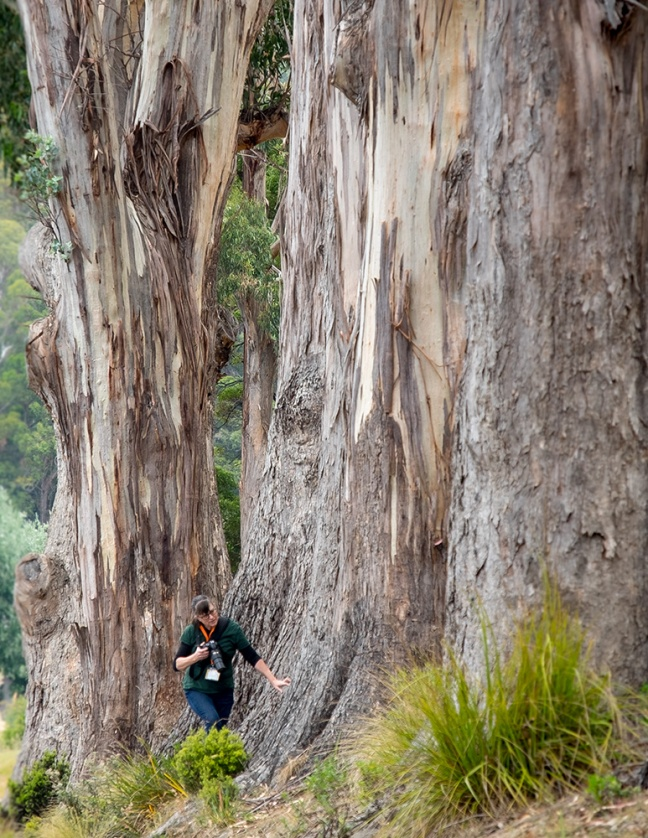 Emily chasing another Echidna at a Port Arthur's eucalyptus grove.