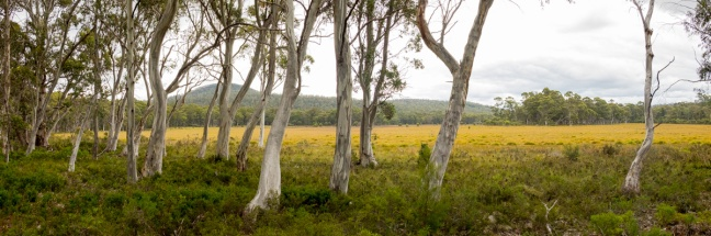 Eucalyptus and a Button Grass meadow at Lake St. Clair.