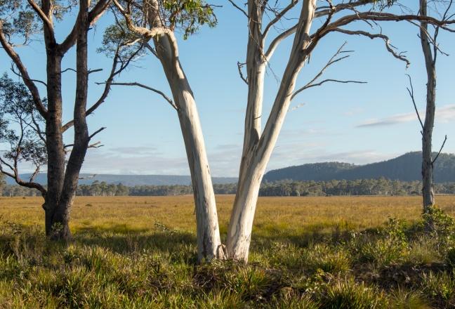Eucalyptus and Button Grass.