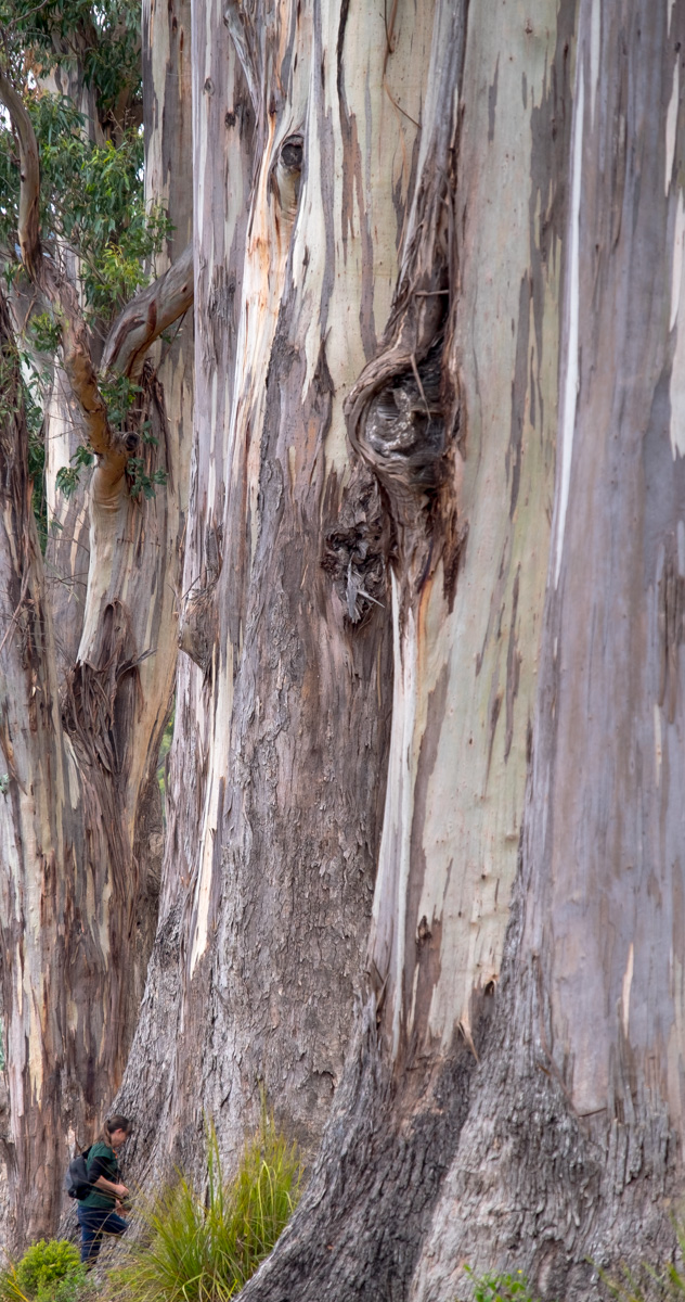 Emily and Eucalyptus at Port Arthur.