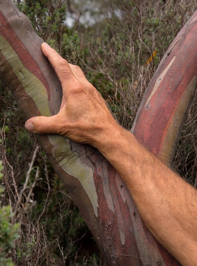 EucalyptusPeterHand