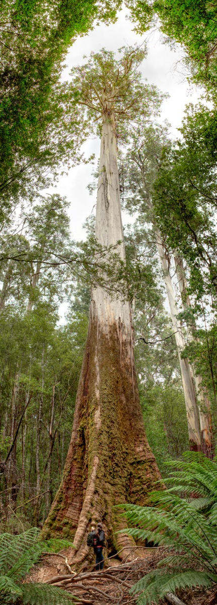 Emily standing with a Eucalyptus Regnans.