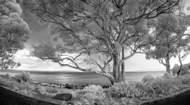 Eucalyptus in Hobart.